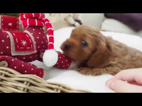 Dotti's Toy Cavoodle Boy A - Pocket Puppies