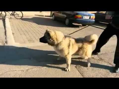 Sarı Kafkas Çoban köpeği