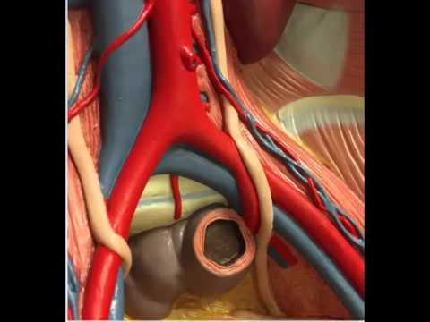 Pelvic Arteries