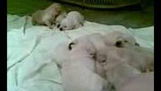 cachorros labrador tomando chupon en grecia