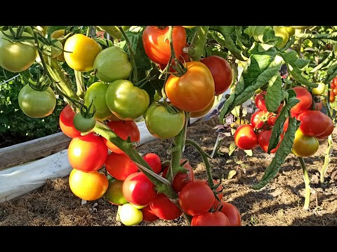 Выбираем сорта томатов для Санкт-Петербурга и Ленинградской области. 16+