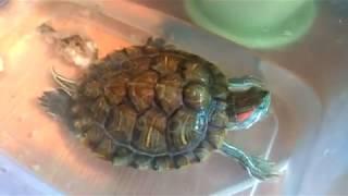 Нарезки из жизни Сэма. Красноухая черепаха.