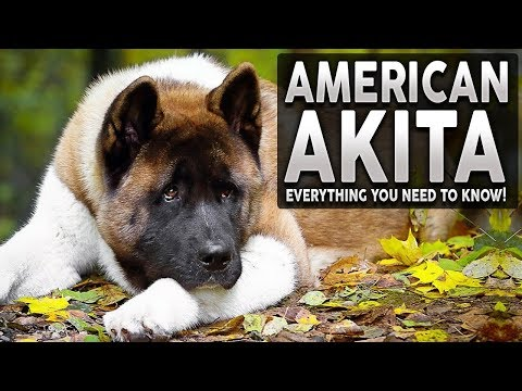AKITA 101! Everything You Need To Know About The AMERICAN AKITA!
