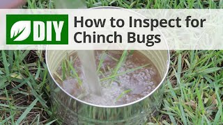 How to Inspect for Chinch Bug Damage - Chinch Bug Inspection
