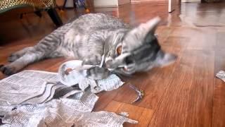 Бенгал Ф1 играет, новая порода, амурская кошка