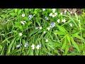 Hidden Honeysuckle Bush & Blue Bells,,,