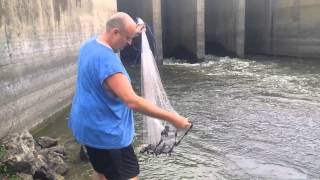 Cast Netting some Shad