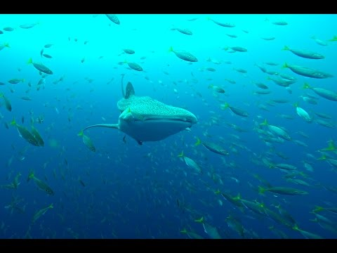 WEST PAPUA diving with whale sharks in Cenderawasih Bay