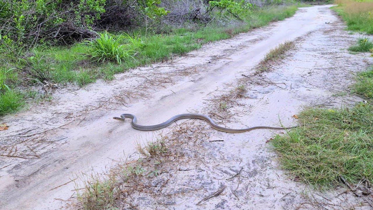 Đi bắt dông cát gặp rắn ráo, xin lỗi bạn rắn