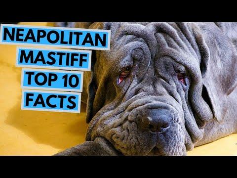 Neapolitan Mastiff  TOP 10 Interesting Facts