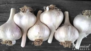 Tips for Choosing and Planting Garlic