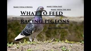 the secret to feeding racing pigeons before a race