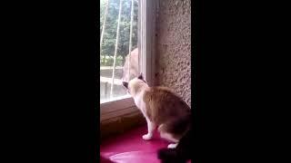 Тиффани & Cерый кот ...Противостояние !!!