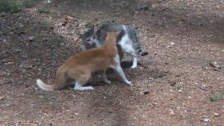 ТОП 10 кошачьих боёв Коты дерутся
