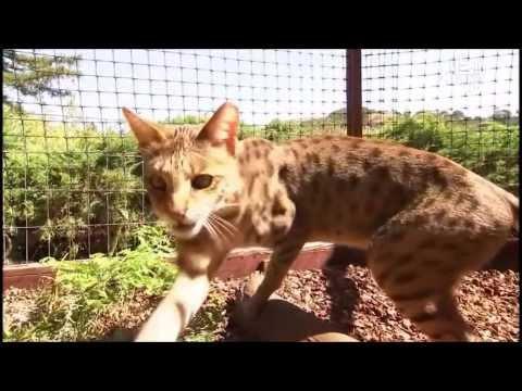 Savannah Cat (Кошка Саванна, Саванна Ф1 , Savannah F1) Murmulet.ru