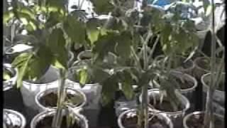 Выращивание помидорной рассады. часть2(Выращивание помидорной рассады. Подпишись на рассылку http://xn--80aaembar9akzm4f.xn--p1ai и получи БЕСПЛАТНО мини курс..., 2009-04-05T15:14:43.000Z)