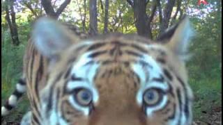 «Путинские» амурские тигры освоились в дикой природе