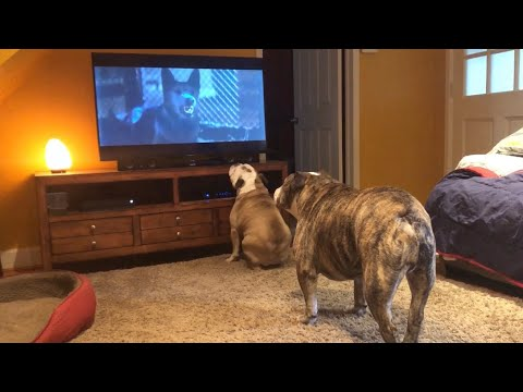 Bulldogs Frantically Warn TV Canine Of Danger in Classic Horror Scene