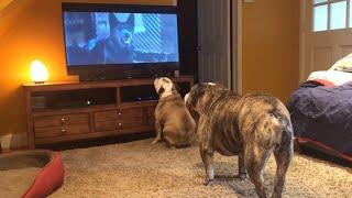 Bulldogs Frantically Warn TV Canine Of Danger in Classic Horror Scene
