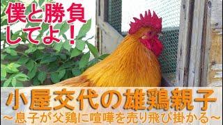 """2018年9月上旬のこと。 喧嘩防止の雄鶏小屋から1日ぶりに""""夏""""を庭へ出し..."""