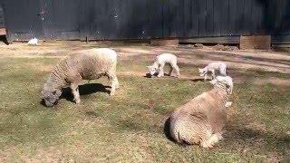 Aggressive Sheep on the Farm.
