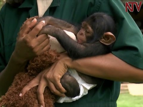 Meet Ngamba's pampered baby chimpanzee