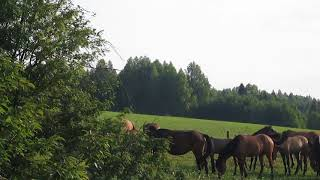 Лошади Вятской породы