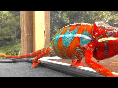 Panther Chameleon - I Move on Slow Motion