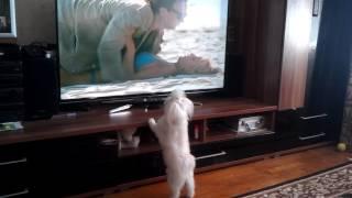 Собака смотрит телевизор!!!