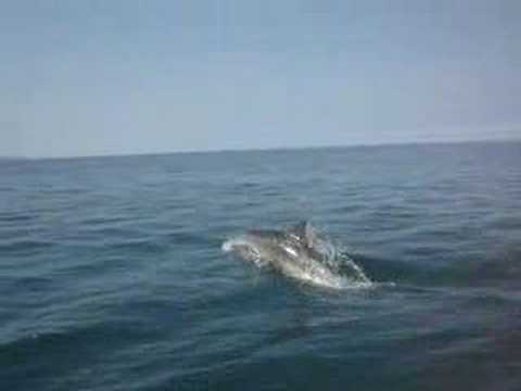 Dolphins in Cardigan Bay, West Wales - The Best Family Welsh Dolphin Video - close enough to touch