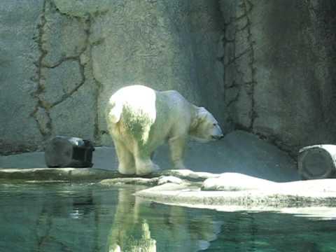 Apologise, but polar bear piss