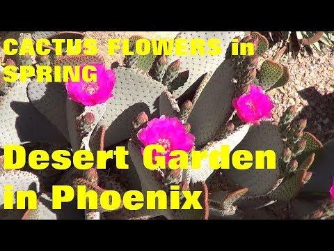 The Plant Traveller:  Cactus Flowers in Spring  Desert Garden in Phoenix