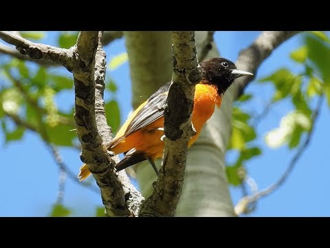 Baltimore Oriole singing - sounds-call-song