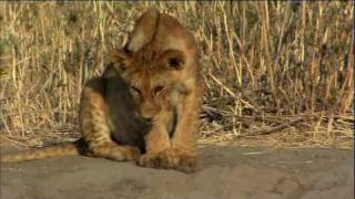 The Story of Junior - The Paralyzed Lion Cub - HD 1080p
