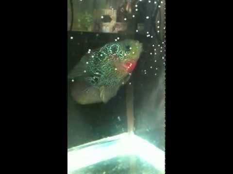 Flowerhorn Parrot Killin Bonsai Flowerhorn X Tell Me What You Think Freshwater Videos Forum 114271