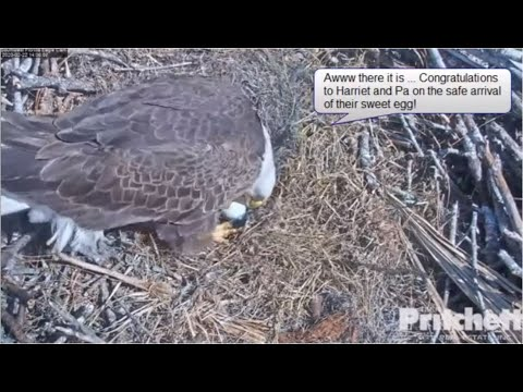 Historical Day - Harriet Lays Egg - Congratulations Harriet & Pa  - SWFL Bald Eagles - Feb 22, 2020