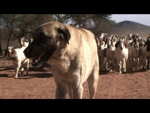 Dogs ease Namibia's cheetah-farmer conflicts