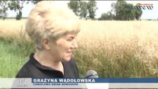 Rzepak i pszenica zniszczone przez gradobicie