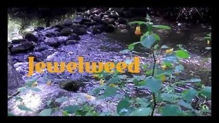 Jewelweed