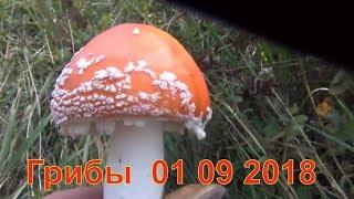 Грибы и лекарственные травы 01 09 2018 Белый гриб рыжики маслята лисички волнушки Сбор грибов тихая