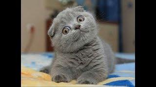 Шотландский вислоухий котенок#стоит ли заводить#котенок#кошка
