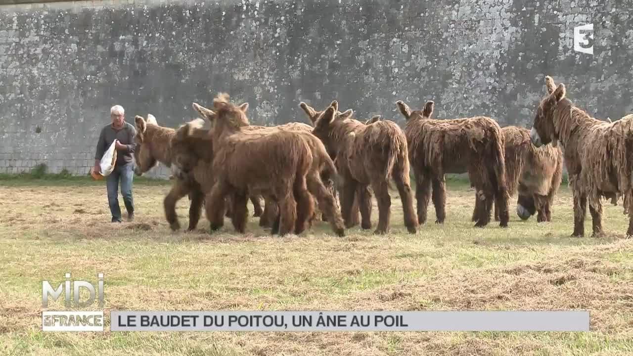 Ane Baudet animaux : le baudet du poitou, un âne au poil ! - youtube