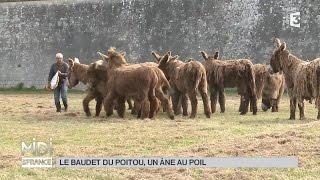 ANIMAUX : Le baudet du Poitou, un âne au poil !