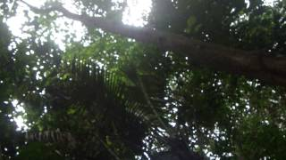 cris des singes hurleurs, Guyane 2015