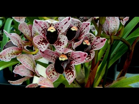 Dublin Orchid Fair & My Daughters' First Orchid - Apr 2016