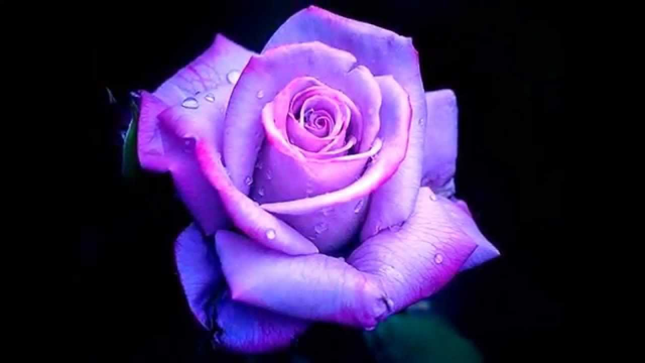Purple roses youtube for Buy black and blue roses