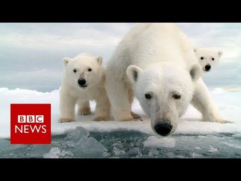 Invasion of the polar bears - BBC News