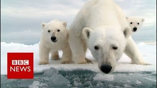 Invasion of the polar bears - BBC News