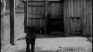 uno dei rarissimi video della tigre della tasmania