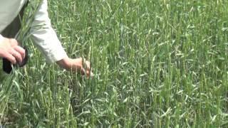 Клопы - Вредные черепашки портят пшеницу